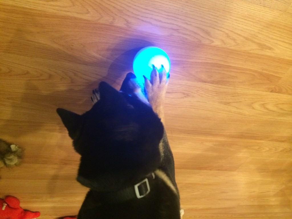 Shiba Inu playing with Sphero Robot