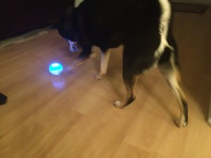 Shiba Inu playing with Sphero Robot